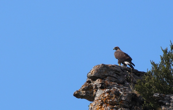 Altifaune - Aigle royal (Aquila chrysaetos)