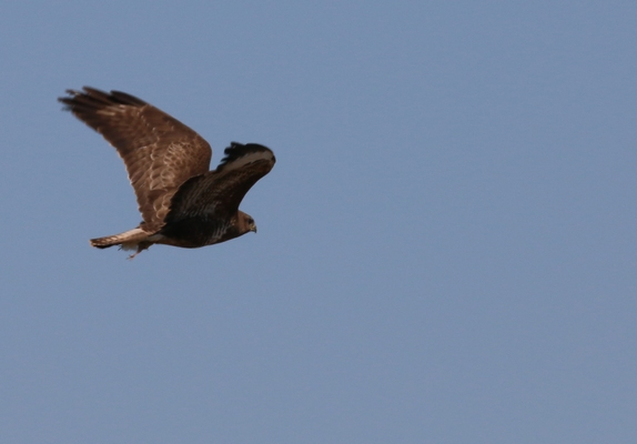 Altifaune - Buse variable (Buteo buteo)