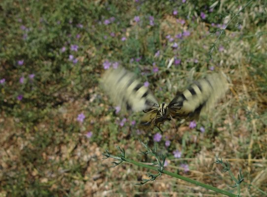 Altifaune - Machaon (Papilio Machaon)